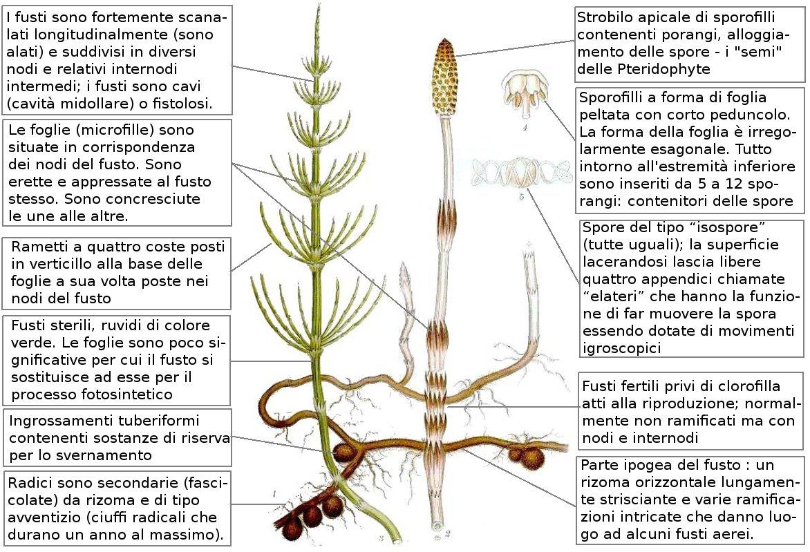 equisetum_arvense