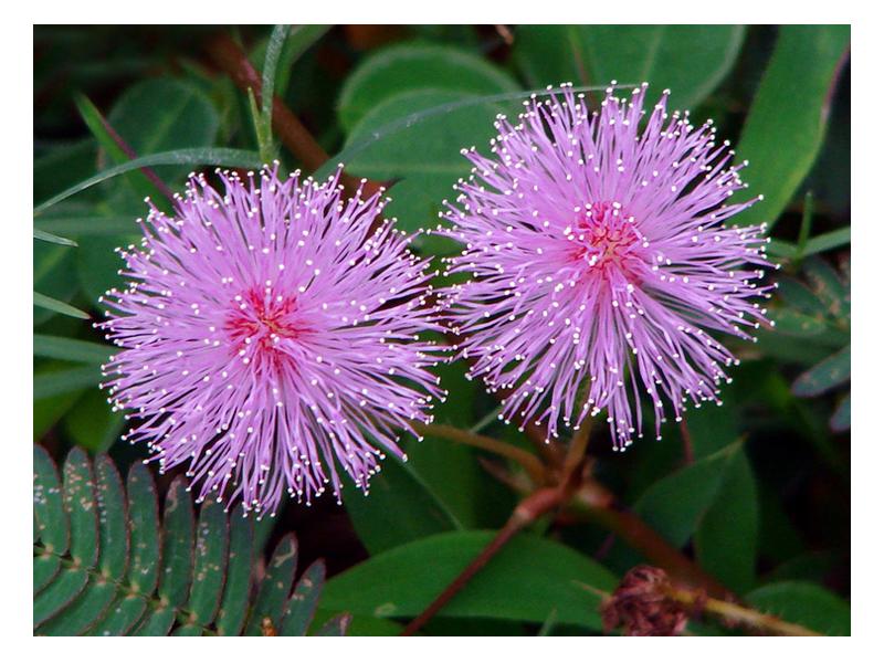 mimosa fiori copia