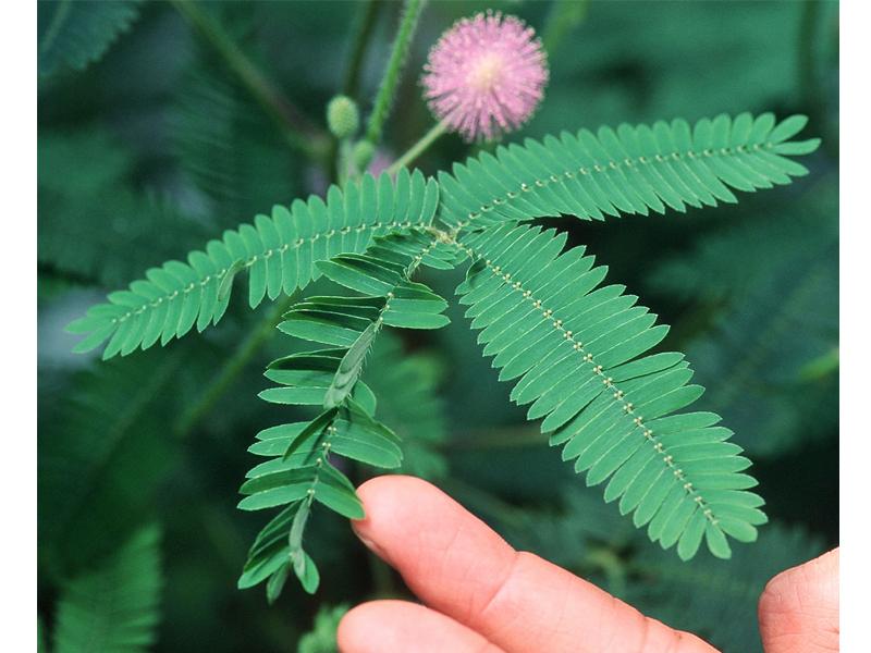 mimosa foglie copia